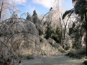 ice-bent-trees